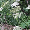 IMG_0050 Cow Parsnip Brush Creek Trail Crested Butte CO