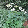 IMG_0052 Cow Parsnip Brush Creek Trail Crested Butte CO