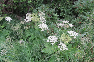 IMG_0049 Cow Parsnip Brush Creek Trail Crested Butte CO