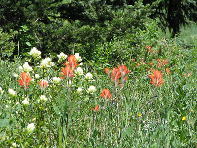 Red Indian Paint Brush and Sulphur Indian Paint Brush