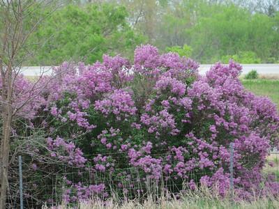 IMG_9035 Lilacs near Brookville Hotel Abilene Kansas
