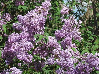 IMG_9114 Lilacs at the Eisenhower home garden Abilene Kansas