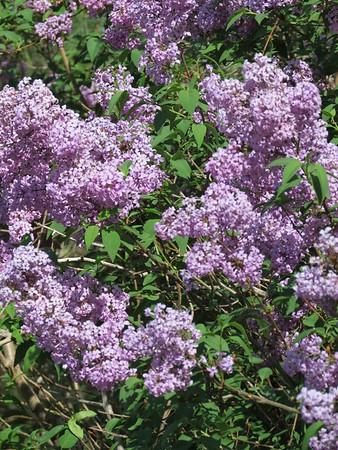 IMG_9115 Lilacs at the Eisenhower home garden Abilene Kansas