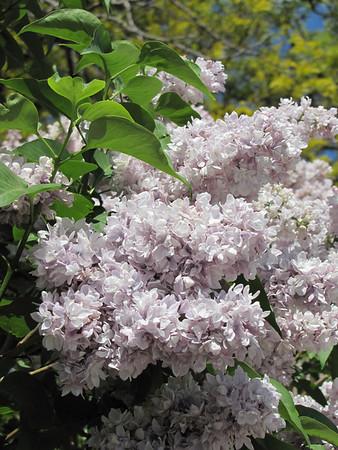 IMG_6331 Lilacs in Kansas