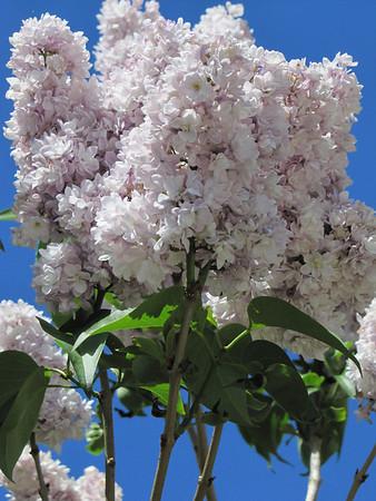 IMG 6329 Lilacs in Kansas