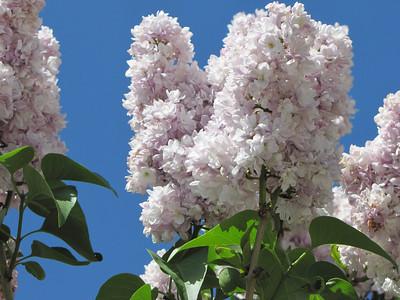 IMG_6330 Lilacs in Kansas