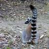 Ring-tailed lemur up close
