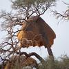 large weaver bird nests_001