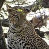 Leopard (Joel)