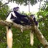 Colobus Monkeys (George)
