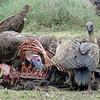 Vultures enjoying wildebeest meal (Joel)