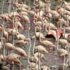 Flamingoes (Joel)