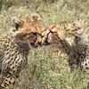 Cheetah siblings cleaning off blood (Joel)