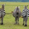 Back to Front Zebras (Joel)
