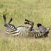 Zebra rolling in dust (Joel)