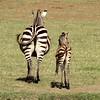 Lake Manyara Zebras
