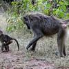 Lake Manyara Baboons