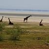 Lake Manyara Giraffes