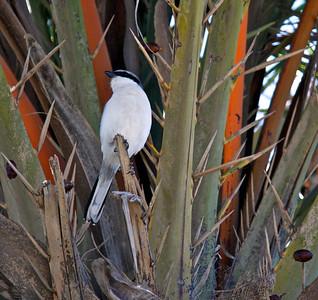Bird in Date Palm Tree