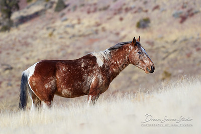 Wild Mustangs of Nevada