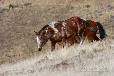 Wild Mustangs of Nevada