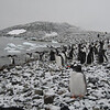 Antarctic Cuverville Is. Penguin scene snow 2