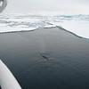 Antarctica Minke whale