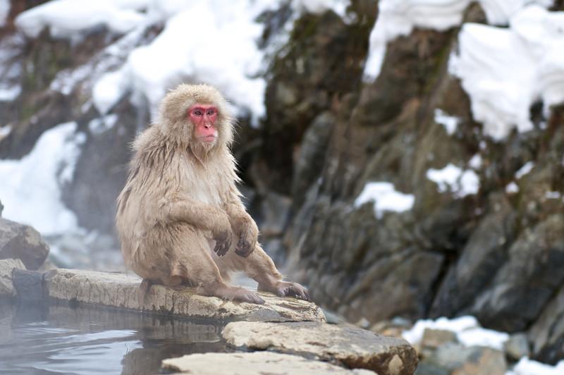 Snow Monkey relaxing   Japan