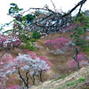 Thousands of Plum Blossoms | Japan