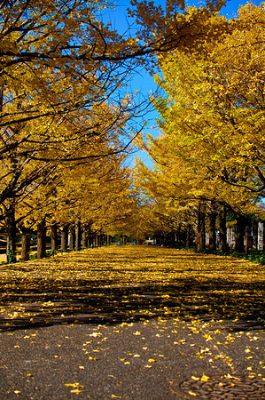 Yellow Autumn |  Japan