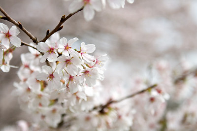 Cherry Floret | Japan