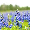 Field of Blues   Texas