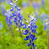 Texas Blue Bonnet | USA