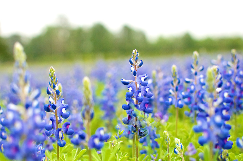Field of Blues | Texas