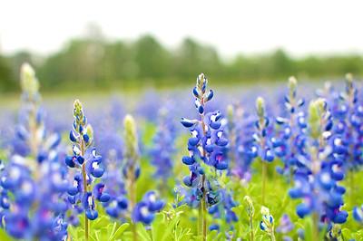 Field of Blues | Texas