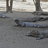 Komodo Dragons under ranger kitchen
