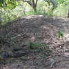 Komodo Dragon guarding nest