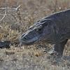Komodo Dragon forked tongue