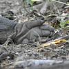 Komodo Dragon claw