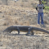 Komodo Dragon ranger w/ forked stick