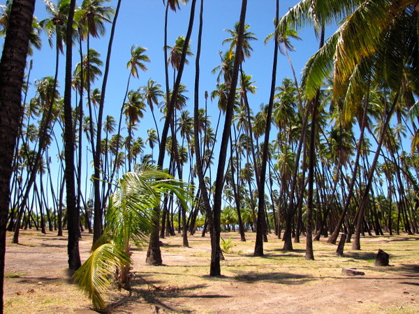 "There's ""Kapuaiwa Coconut Grove""... very cool... hundreds of trees still stand here where they were planted over 150 years ago!"