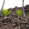 You wouldn't think anything would grow from Volcanic rocks and soil, would you, but it happens... quite the contrast of a picture!