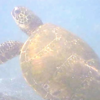 "Our 1st stop was at Kahalu'u Beach Park... known as ""Turtle Beach"" and for good reason... as soon as we dipped in we saw this guy... see more turtles on video here: <a href=""http://nancyandshawnpower.com/best-snorkeling-big-island-hawaii/"">http://nancyandshawnpower.com/best-snorkeling-big-island-hawaii/</a>"