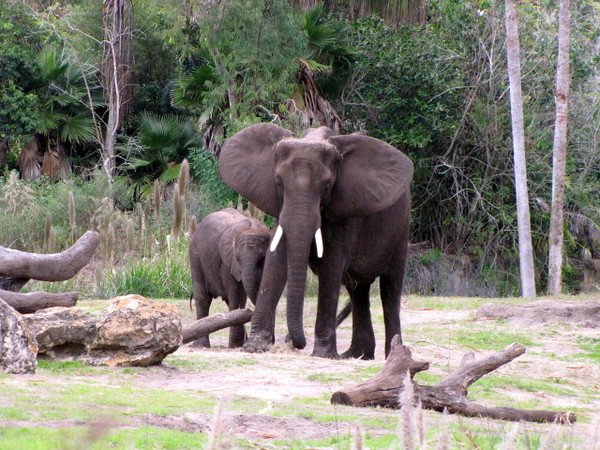 The African Safari also has elephants...