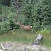 Mule deer, on Imogene trail