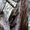 LACE MONITOR OR LACE GOANNA (Varanus varius)