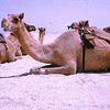 "Camels: ""The Ship of the Desert""<br /> Dubai, Trucial States - 1966<br /> (Since 1971, the United Arab Emirates)"