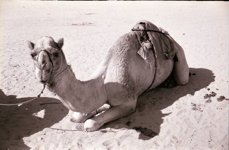 Typical Working Camel<br /> Sharja, Trucial States-1966