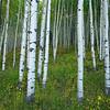 Aspen Trees, CO