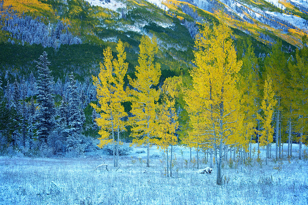 Yellow Aspen, Maroon Bells, CO